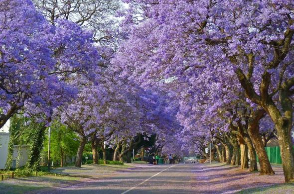 Pretoria is also known as the Jacaranda City.